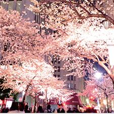東京・日本橋 春の桜